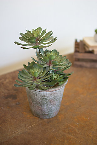 Large Zwartkop Succulent In a Pot (Box of 2), , rollover