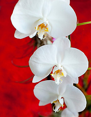 """White Orchid 32"""" x 48"""" Red and White Reverse Printed Acrylic, , large"""