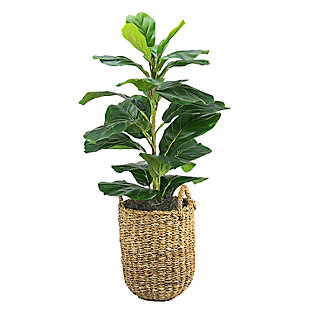 30-inch Fig Plant in a handle basket, , large