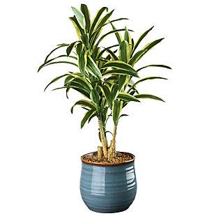 National Tree Company Dracaena Plant, , large
